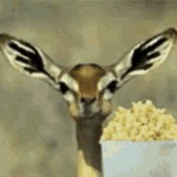 팝콘 먹는 가젤 톰슨가젤 먹방 먹는모습 동물